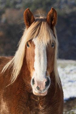 FRA10203AW A portrait of a horse with a golden mane, Correze, Nouvelle-Aquitaine, France
