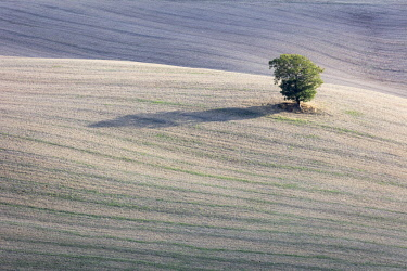 ITA11387AW A solitary tree in a field, Val d'Orcia, Tuscany, Italy