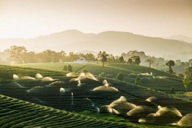 THA1226AW Choui Fong Tea Plantation, Mae Chan, Chiang Rai, Thailand.