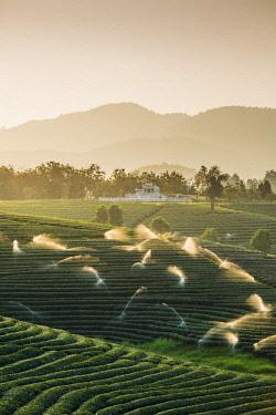 THA1227AW Choui Fong Tea Plantation, Mae Chan, Chiang Rai, Thailand.