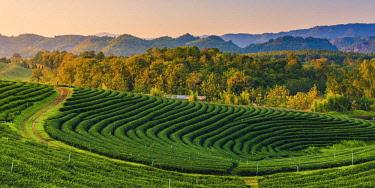 THA1228AW Choui Fong Tea Plantation, Mae Chan, Chiang Rai, Thailand.