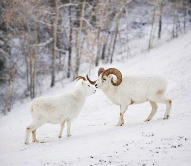 ARMIOS001675 Side view of dall sheep (Ovis dalli) standing on snow, Yukon Territory, Yukon, Canada