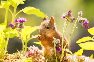 ARWEGE000378 Red squirrel standing between thistle flowers, Bispgarden, Jamtland, Sweden