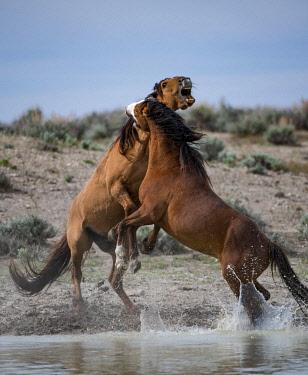 ARTHMI000581 Wild horses fighting at watering hold at Sand Wash Basin, USA