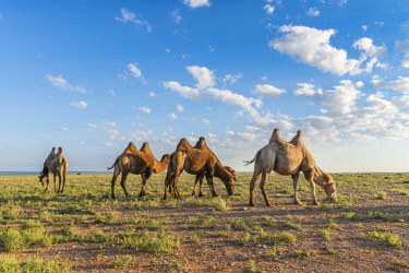 CLKFV74211 Camels grazing. Ulziit, Middle Gobi province, Mongolia.