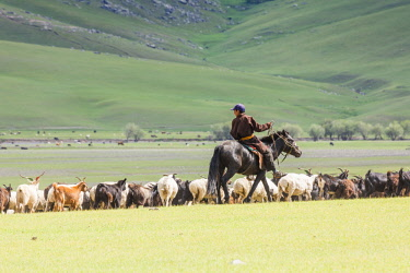 CLKFV74301 Shepherd on horseback gathering sheeps and goats. Ovorkhangai province, Mongolia.