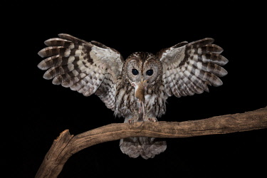 CLKJR71754 Tawny owl in night flight with a mouse in its beak, Trentino Alto-Adige, Italy
