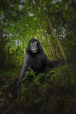 CLKMG71234 Black crested macaque (macaca nigra), Tangkoko National Park, Sulawesi; Indonesia, Asia