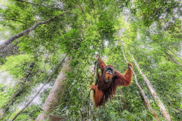Sumatran orangutan climbing a tree in Gunung Leuser National Park, Northern Sumatra.