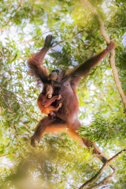 CLKMG71255 Bornean orangutan mother carrying a baby on a tree, Tanjung Puting National Park