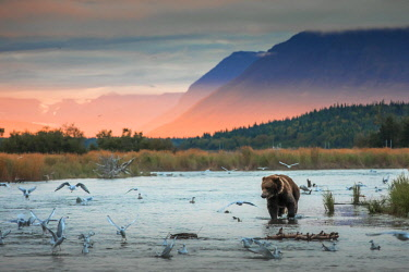 CLKMG71826 Brown bear (Ursus arctos alascensis), Brooks Lake, Katmai National Park and Preserve,  alaska peninsula, Alaska, USA