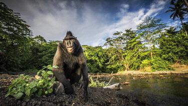CLKMG74512 Black crested macaque, macaca nigra, Tangkoko National Park, Northern Sulawesi, Indonesia