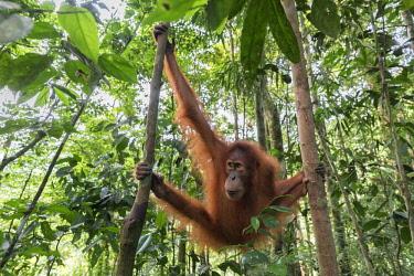 CLKMG74536 Sumatran orangutan, Pongo Abelii, Gunung Leuser National Park, Sumatra, Indonesia