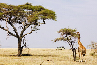 TZ3464 East Africa, Tanzania, safari in the Serengeti National Park, Unesco World Heritage site, giraffe (Giraffa camelopardalis) grazing on a tree