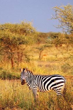 TZ3466 East Africa, Tanzania, safari in the Serengeti National Park, Unesco World Heritage site, zebra