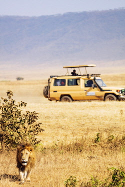 TZ3477 East Africa, Tanzania, safari in Ngorongoro Crater Conservation Area, Unesco World Heritage site, lion (Panthera Leo)