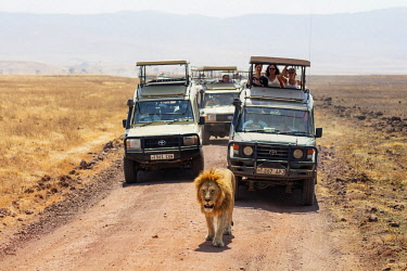 TZ3479 East Africa, Tanzania, safari in Ngorongoro Crater Conservation Area, Unesco World Heritage site, tourists on a game drive watching a lion (Panthera Leo)