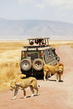 TZ3481 East Africa, Tanzania, safari in Ngorongoro Crater Conservation Area, Unesco World Heritage site, tourists on a game drive watching a lion (Panthera Leo)