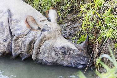NEP2340 Asia, Nepal, Chitwan National Park, Unesco World Heritage site, Indian Rhinocerous, (Rhinoceros unicornis) sleeping on a riverbank