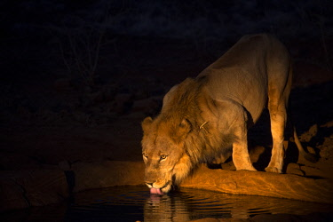 SAF7558 Lion at a waterhole, Madikwe Game Reserve, South Africa, illuminated by spotlight shortly after dusk