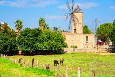 SPA7402AW Windmill in Sineu, Mallorca, Balearic Islands, Spain, Europe