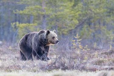 HMS3121906 Finland, Brown bear (Ursus arctos horribilis)