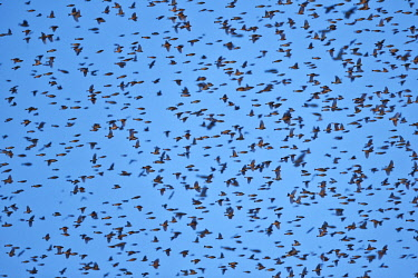 HMS2187887 Germany, Bade-Wurtemberg, Gathering of millions of finches in a European winter dormitory in south west Germany, they roost in trees, Brambling (Fringilla montifringilla), During harsh winters in thei...