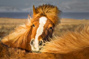HMS2067590 Iceland, Nordhurland vestra, Vatnsnes Peninsula, Portrait of a white Icelandic horse (Equus ferus caballus)