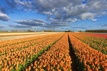 HMS2235737 Netherlands, Southern Holland, fields of tulips near Lisse and Keukenhof garden