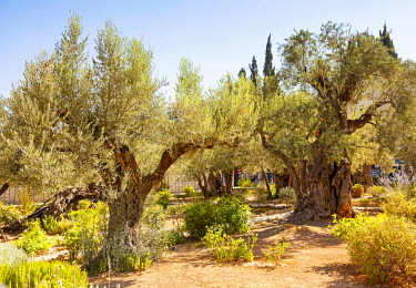 ISR0285 Israel. Jerusalem. Old olive trees possibly dating close to the times of Jesus Christ in the place which have possibly been the Gethsemani in the bible.