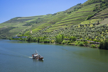 HMS2258190 Portugal, Upper Douro Valley and its vineyards listed as UNESCO World Heritage, surroundings of Pinhao, cruise on the Douro river