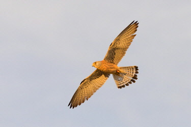 HMS3042578 Spain, Catalonia, Lesser Kestrel, male in flight near the artificial cavity of a building entirely constructed for the nesting of these birds