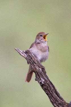 HMS3042626 Spain, Catalonia, Common nightingale or nightingale (Luscinia megarhynchos), singing
