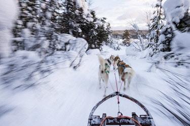 HMS2433352 Sweden, Norrbotten, Kiruna, dog sledding in Swedish Lapland
