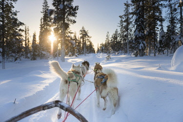 HMS2433353 Sweden, Norrbotten, Kiruna, dog sledding in Swedish Lapland