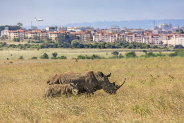 KEN10561 Kenya, Nairobi National Park, Nairobi County.  White rhinos graze in the Nairobi National Park against a backdrop of Nairobi City.