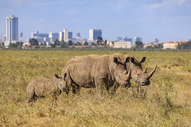 KEN10562 Kenya, Nairobi National Park, Nairobi County.  White rhinos graze in the Nairobi National Park against a backdrop of Nairobi City.