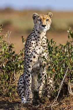 KEN10569 Kenya, Masai Mara, Narok County.  A Cheetah.