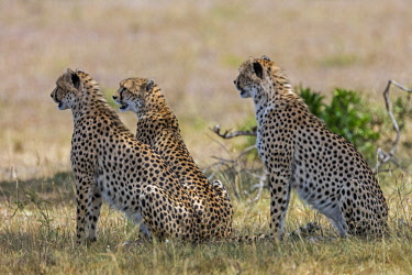 KEN10582 Kenya, Masai Mara, Narok County.  Cheetahs pause in the shade of a tree.