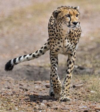 KEN10583 Kenya, Masai Mara, Narok County.  A Cheetah on the prowl.
