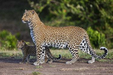 KEN10597 Kenya, Masai Mara, Narok County.  A female leopard cub with her cub.