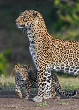 KEN10598 Kenya, Masai Mara, Narok County.  A female leopard cub with her cub.