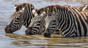 KEN10612 Kenya, Masai Mara, Narok County.  Zebras drinking from a pool.