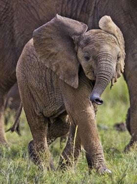 KEN10621 Kenya, Masai Mara, Narok County.  A baby elephant.