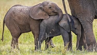 KEN10622 Kenya, Masai Mara, Narok County.  Young elephants stand behind their mother.