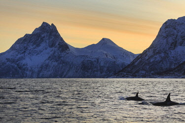 CLKSC75794 Orca (Orcinus orca) in Mefjorden fjord, Berg in Troms, Norway, Senja, nordland, norway, europe