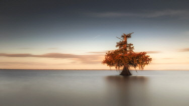 CLKMG76715 Bald Cypress (Taxodium distichum) in Lake Fausse Pointe, Atchafalaya Basin, Louisiana, Southern United States, USA, North America