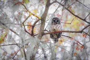 CLKMG76745 Barred Owl (strix varia); Lake Martin, Breaux Bridge, Atchafalaya Basin, Southern United States, USA; North America