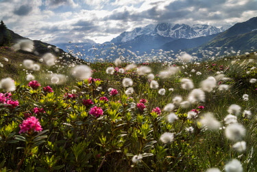 CLKRM75284 Meadows of rhododendrons and cotton grass, Maloja, Bregaglia Valley, Canton of Graubunden, Engadin, Switzerland