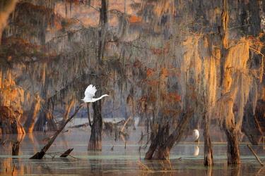 CLKMG76172 Egret and Taxodium distichum (Bald Cypress), Lake Martin, Atchafalaya Basin, Breaux Bridge, Louisiana, United States